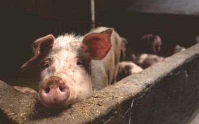 Australians Care about Animals – But We Don't Buy Ethical Meat