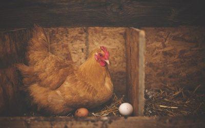 Zo Produceer je Echt Diervriendelijke Eieren